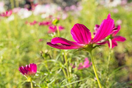 cav: C.sulphureus Cav. or Sulfur Cosmos, flower in garden
