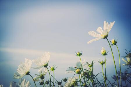 cav: C.sulphureus Cav. or Sulfur Cosmos, flower and blue sky Stock Photo
