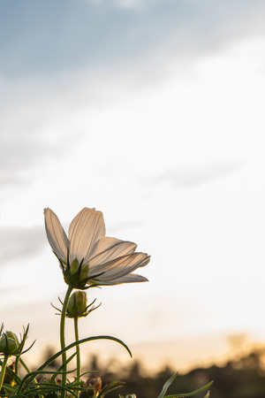 cav: C.sulphureus Cav. or Sulfur Cosmos, flower