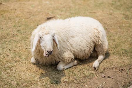 basking: sheep basking on grass Stock Photo
