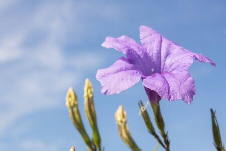 acanthaceae: ACANTHACEAE,Hygrophila erecta (Burm.)Hochr. Stock Photo