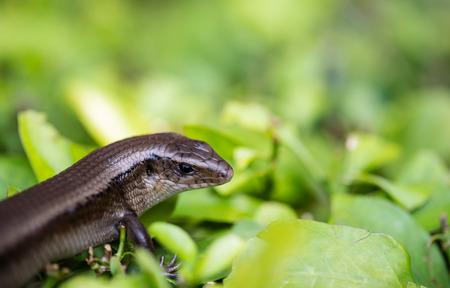 lagartija: Lagarto de monitor - Varanus en el �rbol Foto de archivo