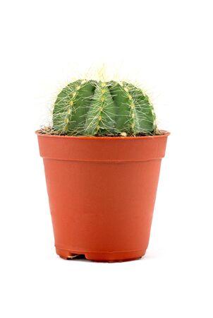 potted plant cactus: Cactus On White Background Stock Photo