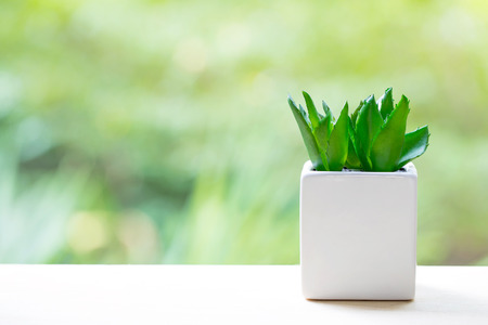 Aloe vera. In small white pots on wood table nature background