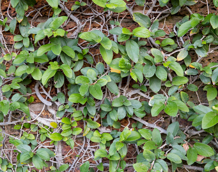 texture wall: The wall with ivy plants Stock Photo
