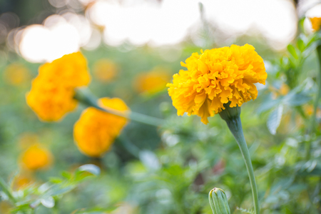 marigolds: Marigolds in a garden Stock Photo