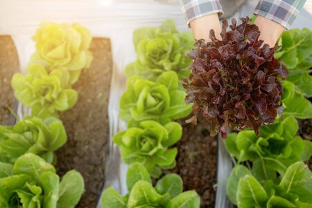 closeup hands of young man farmer checking and holding fresh organic vegetable in hydroponic farm, produce and cultivation red oak lettuce for harvest agriculture with business, healthy food concept.