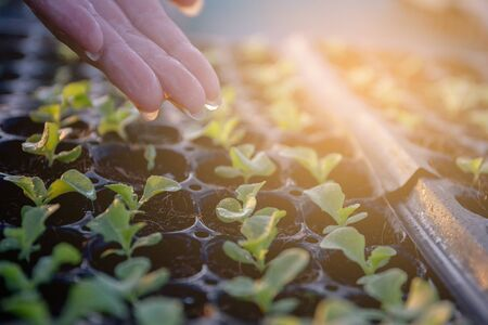 Group organic fresh vegetable seeding are growing from soil and water the plant, cultivation and produce sapling hydroponic farm, sprout with agriculture for healthy food and business concept.