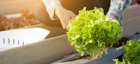Closeup hands of young asian man farmer checking fresh organic vegetable garden in farm, cultivation green oak lettuce for harvest agriculture with business, healthy food concept, banner website.
