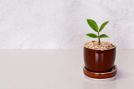 Mini plant succulent on wooden white desk, little plant and leaf in potted on table with cement texture background, copy space, nobody, tree in pot for decoration in home, spring and summer.