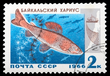 ichthyology: USSR - CIRCA 1966: A stamp printed in USSR shows Baikal grayling, series, circa 1966