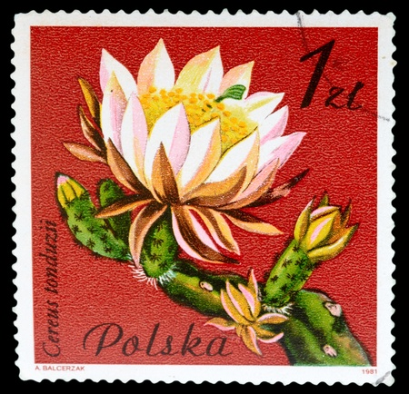 phytology: POLAND - CIRCA 1981: A Stamp shows image of a Cereus with the designation Cereus tonduzii from the series Flowering Succulent Plants, circa 1981