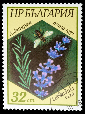 BULGARIA - CIRCA 1987: A stamp printed in BULGARIA shows a Lavandula vera, series, circa 1987 photo