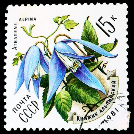 USSR - CIRCA 1981: A stamp printed in USSR shows a Atragene alpina, series, circa 1986 photo