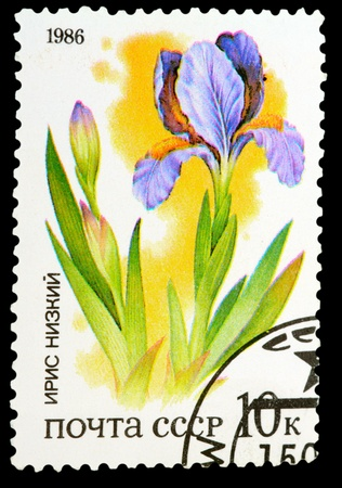 USSR - CIRCA 1986: A stamp printed in USSR shows a Iris humilis, series, circa 1986 Stock Photo