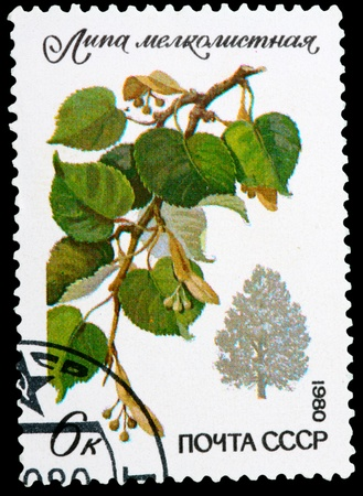 tilia cordata: USSR - CIRCA 1980: A stamp printed in USSR shows a Tilia cordata Mill., series, circa 1980