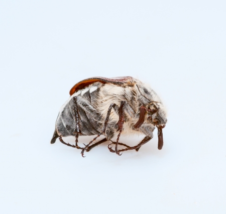 The chafer on a background Stock Photo - 19636348