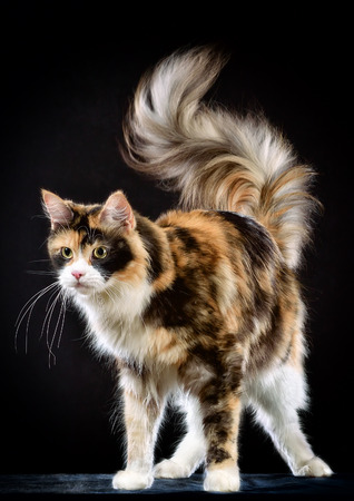 Studio photography cat the breed - the Maine Coon, on a black background photo