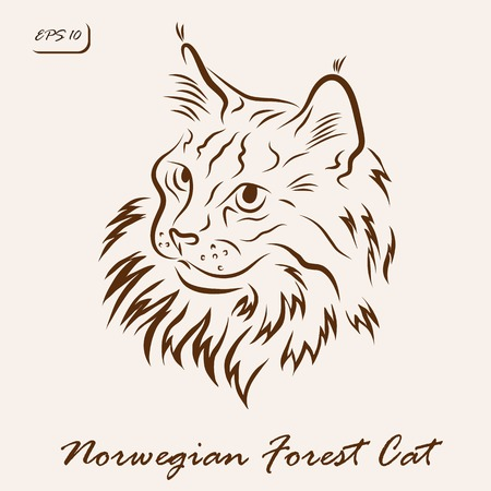 Vector illustration. Illustration shows a cat breed Norwegian Forest Cat