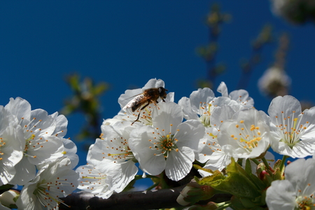 workwoman: A bee collecting pollen from flowers of cherries.