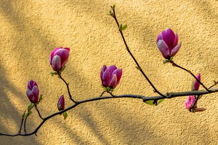 Spring awakening of a magnolia bush.