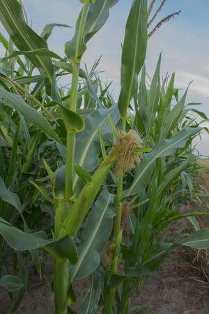 Landscape showing green corn fields. 版權商用圖片