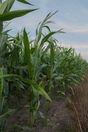 Landscape showing green corn fields. Stock Photo