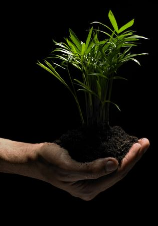 black soil: A hand coming from the side is holding carefully a little plant with its roots in fresh black soil in front of a black background. Stock Photo