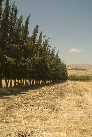 strong perspective of a row of cypress in a cultured field. photo