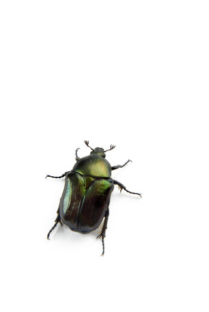 scarab bettle isolated on white with shadow photo