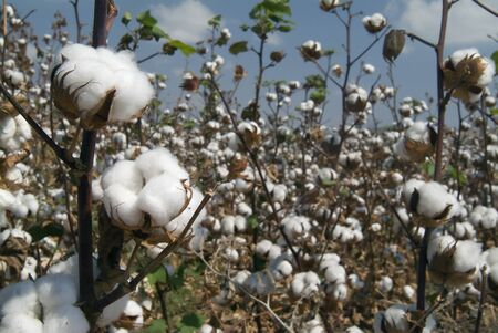 cotton plant: Close-up of Ripe cotton bolls on branch Stock Photo