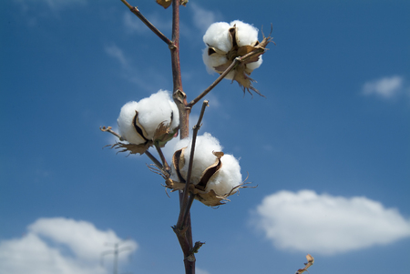 Close-up of Ripe cotton bolls on branch against cloudy blue sky photo