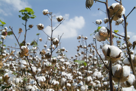 cotton crop: Close-up of Ripe cotton bolls on branch