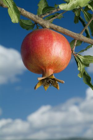 pomegranate on branch against cloudy blue sky