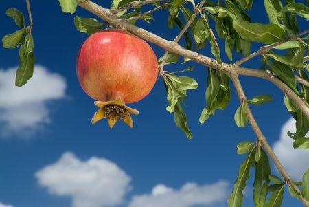 pomegranate on branch Stock Photo - 1736235