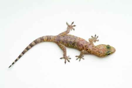 critters: Gecko Isolated On White