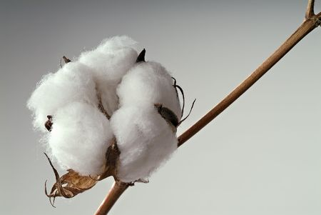 cotton ball: Close-up of Ripe cotton ball on branch isolated