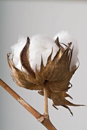 organic cotton: Close-up di Ripe cotone palla sul ramo isolato  Archivio Fotografico