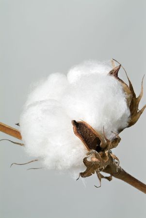 Close-up of Ripe cotton ball on branch isolated