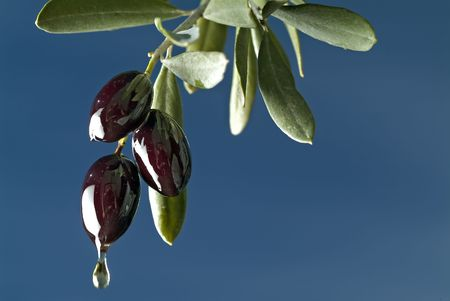 drop of oil from three black olives on branch against blue sky Stock Photo