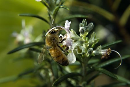 clos-up of a Bee on Rosemary flower Stock Photo - 2299007