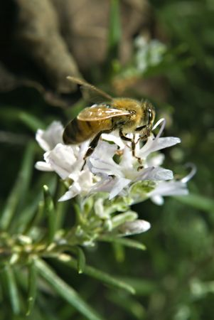 polen: clos-up of a Bee on Rosemary flower