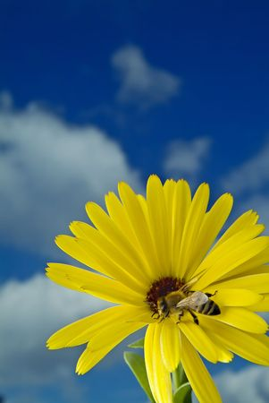 close-up of a Bee on a yellow flower against blue sky with clouds Stock Photo - 2346280