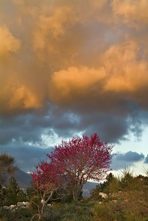 redbud tree: Redbud Tree and cloudscape in sunset