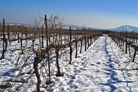 golan: vineyard at snow in the Golan Heights, Israel
