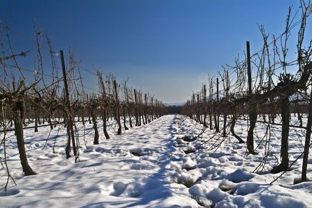 vineyard at snow in the Golan Heights, Israel photo