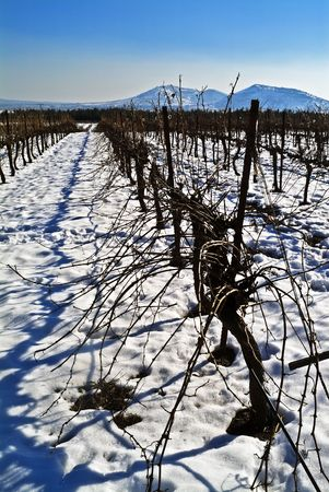 the golan heights: vineyard at snow in the Golan Heights, Israel