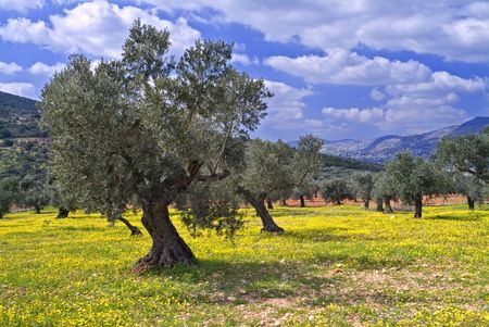ancient olive grove in the Galilee, Israel photo