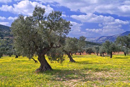 paisaje mediterraneo: arboleda verde oliva antigua en el Galilee, Israel Foto de archivo