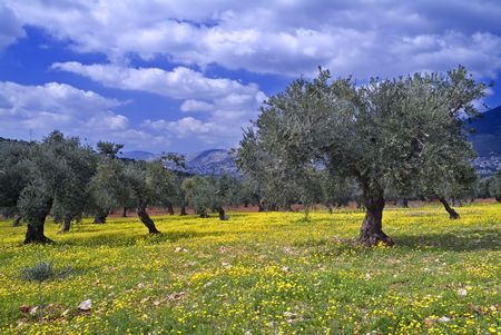 olive farm: anciant olive grove in the Galilee, Israel